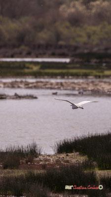 Vol d'aigrette I. Réserve ornithologique du Teich. Samedi 16 mars 2019. Photographie © Christian Coulais