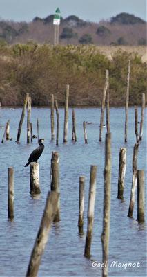 Grand cormoran. Réserve ornithologique du Teich. Photographie Gaël Moignot. Samedi 16 mars 2019