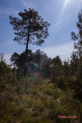 1/2 Parcelle de pins maritimes déboisée. Forêt de Migelan, espace naturel sensible, Martillac / Saucats / la Brède. Vendredi 22 mai 2020. Photographie : Christian Coulais