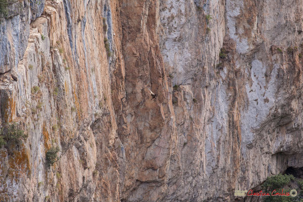 2/9 Vautour fauve en vol d'approche de son nid / Buitre beonado que se acerca al nido, Foz de Arbaiun, Navarra
