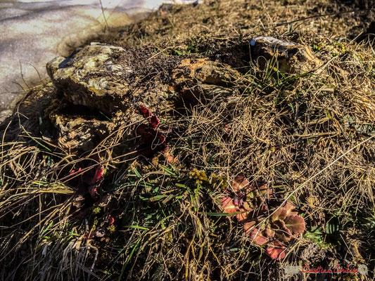 Plante grasse qui redécouvre la lumière. Gave du Brousset, Soques, RD 134 bis, Laruns, Pyrénées-Atlantiques