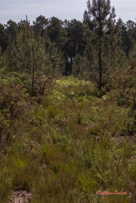 2/2 Parcelle de pins maritimes déboisée. Forêt de Migelan, espace naturel sensible, Martillac / Saucats / la Brède. Vendredi 22 mai 2020. Photographie : Christian Coulais