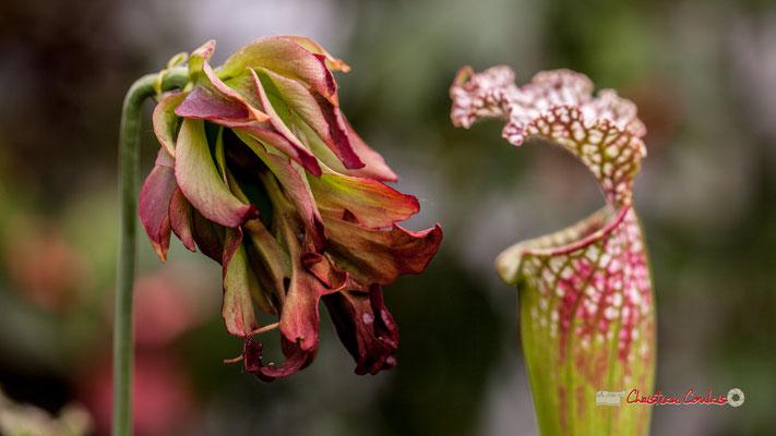 """Sud-Est des Etats-Unis d'Amérique. Genre : Sarracenia; Espèce : Leucophylla """"Tarnock""""; Famille : Sarraceniaceae; Ordre : Nepenthales. Serre tropicale du Bourgailh, Pessac. 27 mai 2019"""