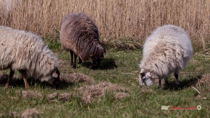Moutons. Réserve ornithologique du Teich. Samedi 16 mars 2019