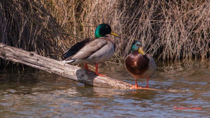 Canards colverts, réserve ornithologique du Teich, samedi 3 avril 2021. Photographie © Christian Coulais