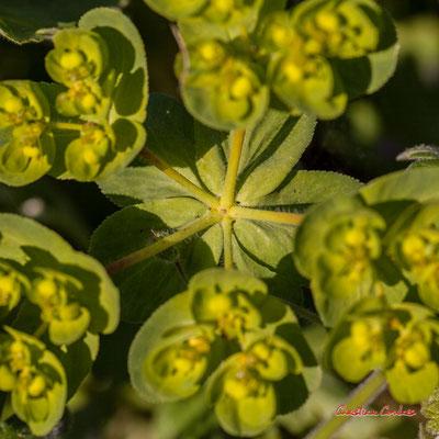 Euphorbe réveille-matin, herbe à verrues, herbe aux verrues, petite éclaire, réveil-matin. Vendredi 27 mars 2020