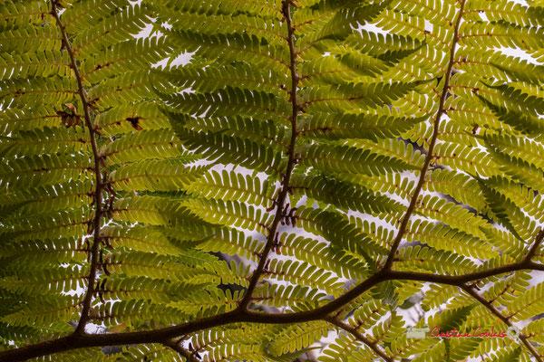 Fougère de Cooper ou fougère arborescente d'Australie / Papouasie.  Genre: Cyathea; Espèce : Cooperi; Famille : Cyatheaceae; Ordre : Polypodiales. Serre tropicale du Bourgailh, Pessac. 27 mai 2019