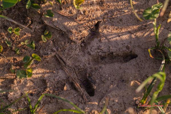 Empreinte de faisan, patte non palmée, 3 doigts au pouce réduit, dans un carré de 7 à 8,5 cm de côté ; Haut-Brignon, Cénac. Samedi 16 mai 2020. Photographie : Christian Coulais