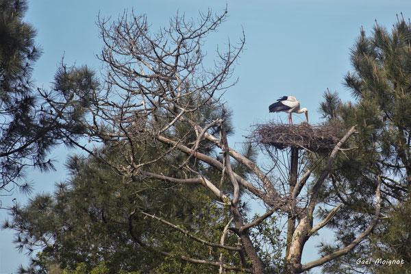 Nid de cigogne blanche. Réserve ornithologique du Teich. Photographie Gaël Moignot. Samedi 16 mars 2019