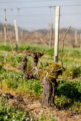 """Vieux cep 4"". Vitis vinifera Land Art"