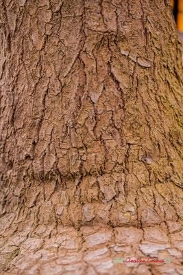 Amérique. Genre : Yucca; Espèce : Elephantipes; Famille : Asparagaceae; Ordre : Asparagales. Serre tropicale du Bourgailh, Pessac. 27 mai 2019