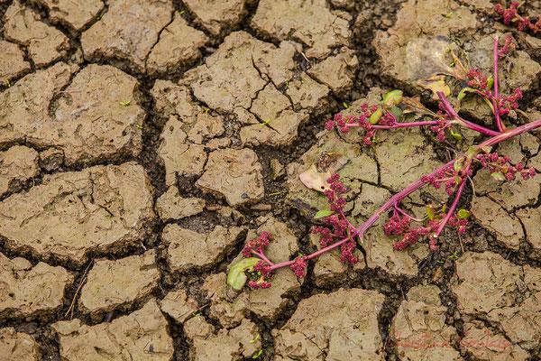 Craquelure de terre et salicorne. Réserve naturelle régionale de Scamandre, Vauvert