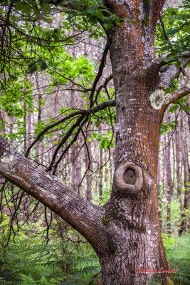 """1/2 """"Bourrelet cicatriciel"""" Forêt de Migelan, espace naturel sensible, Martillac / Saucats / la Brède. Samedi 23 mai 2020. Photographie : Christian Coulais"""