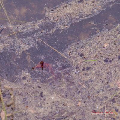 1/3 Pinces d'écrevisse de Louisiane (Procambarus clarkii). Forêt de Migelan, espace naturel sensible, Martillac / Saucats / la Brède. Samedi 23 mai 2020. Photographie : Christian Coulais