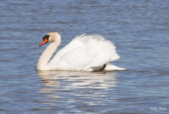 Cygne blanc. Réserve ornithologique du Teich. Photographie Odile Roux. Samedi 16 mars 2019