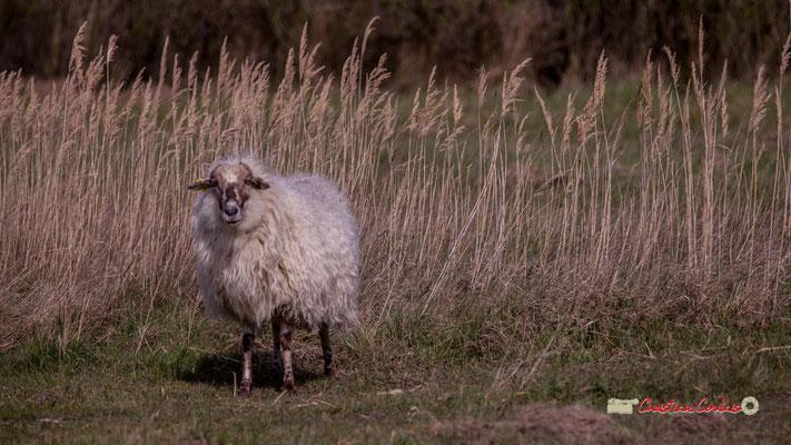 Mouton. Réserve ornithologique du Teich. Samedi 16 mars 2019