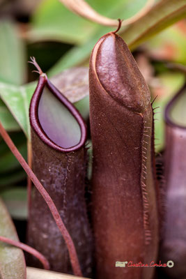 Bornéo, Philippines. Groupe : Nepenthes; Famille : Nepenthaceae; Ordre : Nepenthales. Serre tropicale du Bourgailh, Pessac. 27 mai 2019