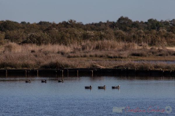 Chasse à la tonne, canards appâts. Domaine de Certes-et-Graveyron, Audenge