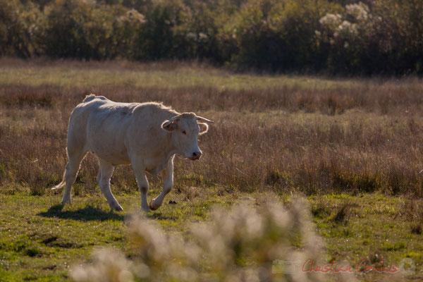 Fin de journée, vache rentrant à l'étable. Domaine de Graveyron, Audenge, espace naturel sensible de Gironde