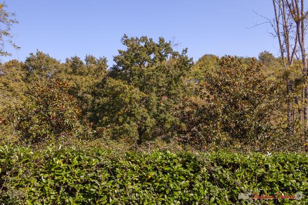 C'est dommageable que les essences d'arbres (ici 2 magnolias) plantées par les riverains, ne soient pas en adéquation avec leur environnement. Avenue du bois du moulin, Cénac, Gironde. 16/10/2017