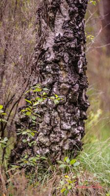 Tronc et écorce de bouleau verruqueux ou bouleau blanc (Betula pendula, syn. B. verrucosa). Forêt de Migelan, espace naturel sensible, Martillac / Saucats / la Brède. Samedi 23 mai 2020. Photographie : Christian Coulais