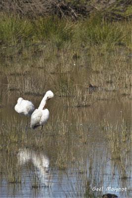 Spatule blanche. Réserve ornithologique du Teich. Photographie Gaël Moignot. Samedi 16 mars 2019