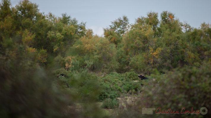 Domaine de la Fromagère, élevage de taureaux. Réserve naturelle régionale de Scamandre, Vauvert