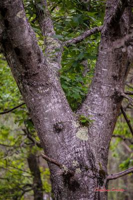 """2/3 """"Entrejambe"""" Forêt de Migelan, espace naturel sensible, Martillac / Saucats / la Brède. Samedi 23 mai 2020. Photographie : Christian Coulais"""