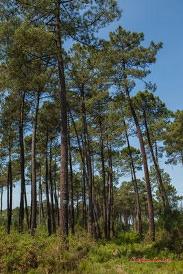 2/4 Parcelle de pins maritimes (pin des Landes, pin de Bordeaux, Pinus pinaster). Forêt de Migelan, espace naturel sensible, Martillac / Saucats / la Brède. Vendredi 22 mai 2020. Photographie : Christian Coulais