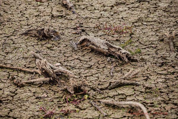 Bois mort et terre craquelée. Réserve naturelle régionale de Scamandre, Vauvert
