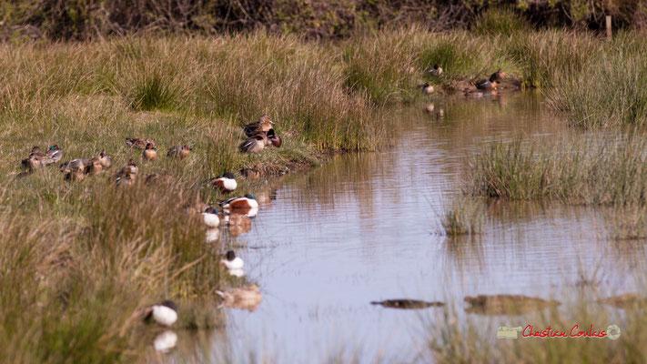 Colonie de canards souchets. Réserve ornithologique du Teich. Samedi 16 mars 2019