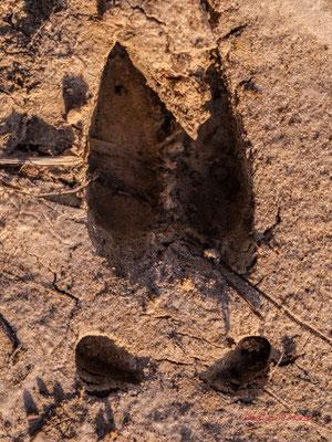 Empreinte de sanglier, 4 doigts de plus de 6 cm de long, au bord externe arrondi, +/- usé au bout ; Haut-Brignon, Cénac. Samedi 16 mai 2020. Photographie : Christian Coulais