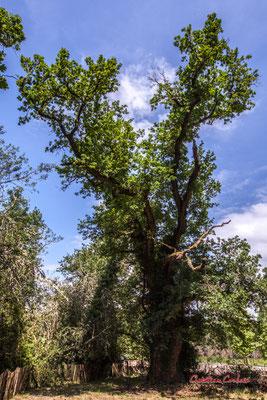 """Arbre remarquable, Route départementale 111, à Martillac, appelée aussi « voie romaine », aux abords de la forêt de Migelane, le """"chêne de Montesquieu"""", hauteur 20 m; 6,60 m de circonférence. Vendredi 22 mai 2020. Photographie : Christian Coulais"""
