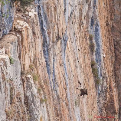 4/9 détail Vautour fauve en vol d'approche de son nid / Buitre beonado que se acerca al nido, Foz de Arbaiun, Navarra