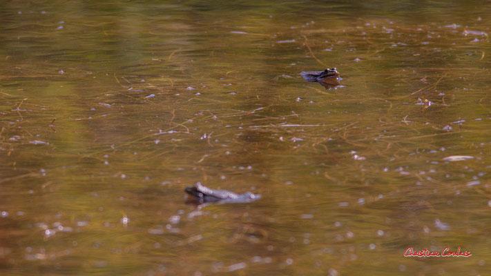 Crapauds. Réserve ornithologique du Teich. Samedi 3 avril 2021. Photographie © Christian Coulais