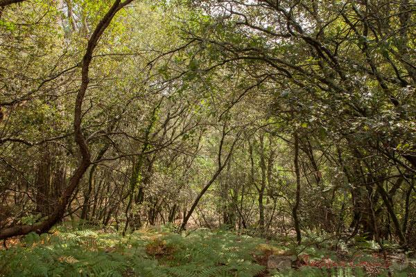Sur le sentier, côté sous-bois, chêneraie,  arbousiers, fougères...Étang de Cousseau