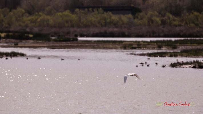 Vol d'aigrette III. Réserve ornithologique du Teich. Samedi 16 mars 2019. Photographie © Christian Coulais