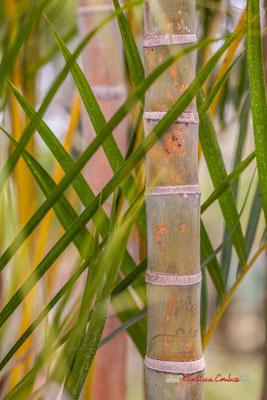 Palmiste multipliant. Madagascar. Genre : Dyspis (Chrysalidocarpus); Espèce : Lutescens; Famille : Arecaceae; Ordre : Arecales. Serre tropicale du Bourgailh, Pessac. 27 mai 2019