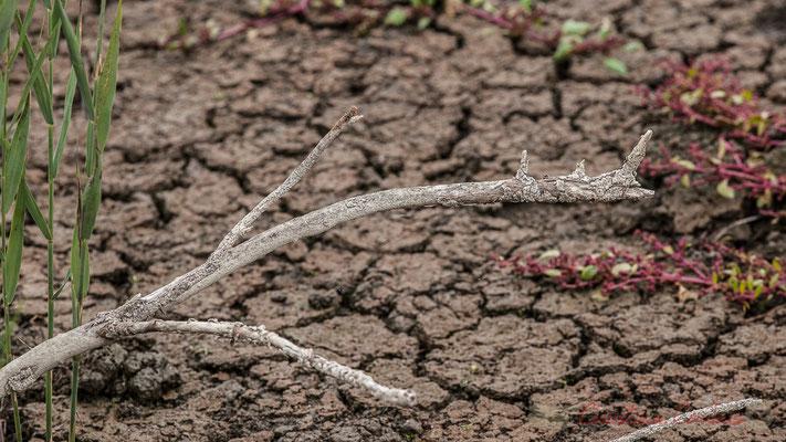 Craquelure de terre et bois mort. Réserve naturelle régionale de Scamandre, Vauvert