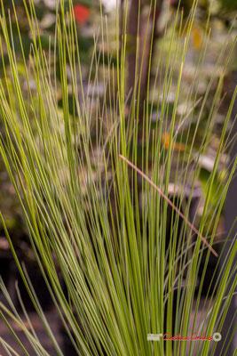 Australie. Genre : Xanthorrhoea; Espèce : Perrieri; Famille : Asphodelaceae; Ordre : Asparagales. Serre tropicale du Bourgailh, Pessac. 27 mai 2019