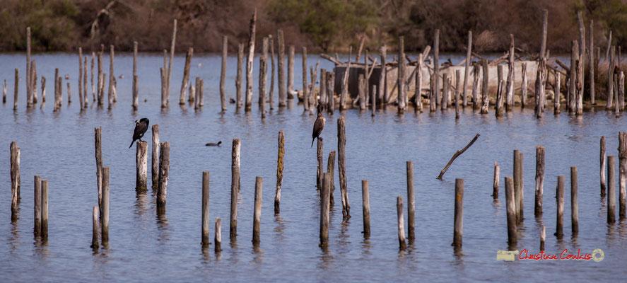 Grands cormorans. Réserve ornithologique du Teich. Samedi 16 mars 2019. Photographie © Christian Coulais