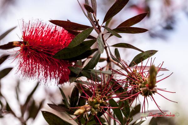 Rince-bouteille. Genre : Callistemon Espèce : Citrinus; Famille : Myrtaceae; Ordre : Myrtales; Serre tropicale du Bourgailh, Pessac. 27 mai 2019