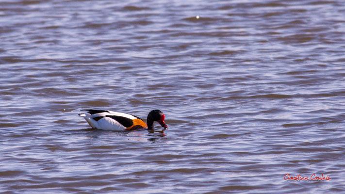Tadorne de Belon. Réserve ornithologique du Teich. Samedi 3 avril 2021. Photographie © Christian Coulais
