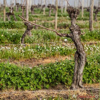 """""""Le Chef d'orchestre"""". Vitis vinifera Land Art"""