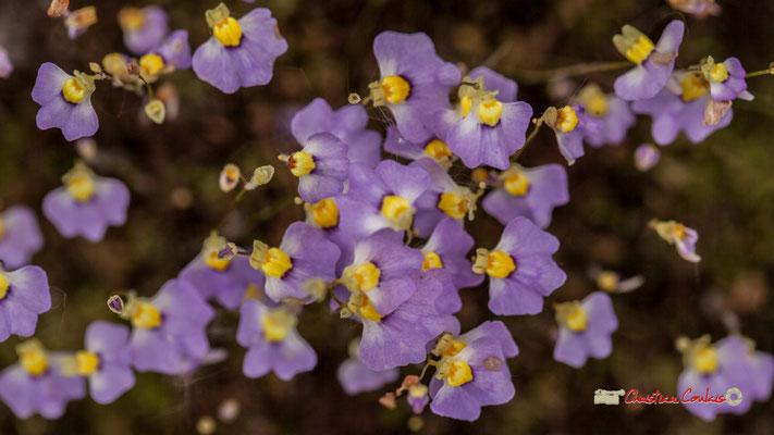 Sud de l'Australie. Genre : Utricularia; Espèce : Lateriflora; Famille : Lentibulariaceae; Ordre : Lamiales. Serre tropicale du Bourgailh, Pessac. 27 mai 2019