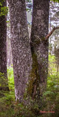 """3/3 """"Entrejambe"""" Forêt de Migelan, espace naturel sensible, Martillac / Saucats / la Brède. Samedi 23 mai 2020. Photographie : Christian Coulais"""