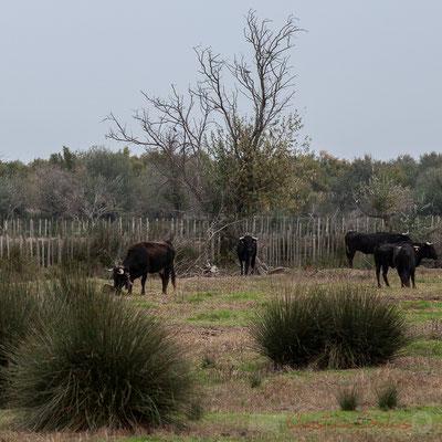 Elevage de taureaux, route des Iscles. Réserve naturelle régionale de Scamandre, Vauvert