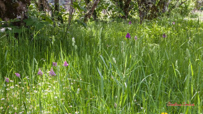 Zone non tondue pour que les Orchis pyramidal éclosent (une trentaine de pieds), le Garde, Cénac. Samedi 25  avril 2020. Photographie : Christian Coulais