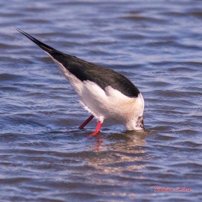 Echasse blanche, réserve ornithologique du Teich. Samedi 3 avril 2021. Photographie © Christian Coulais