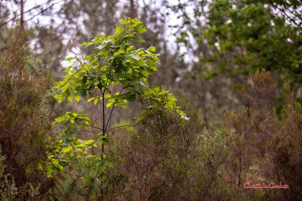 Jeune châne américain. Forêt de Migelan, espace naturel sensible, Martillac / Saucats / la Brède. Samedi 23 mai 2020. Photographie : Christian Coulais